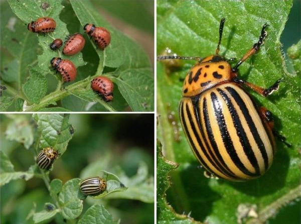 planter les pommes de terre un insecte nuisible