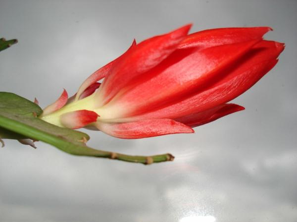 Rhipsalidopsis gaertneri cactus de pâques