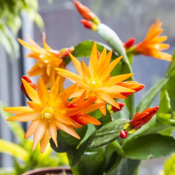 Rhipsalidopsis hybride cactus de pâques