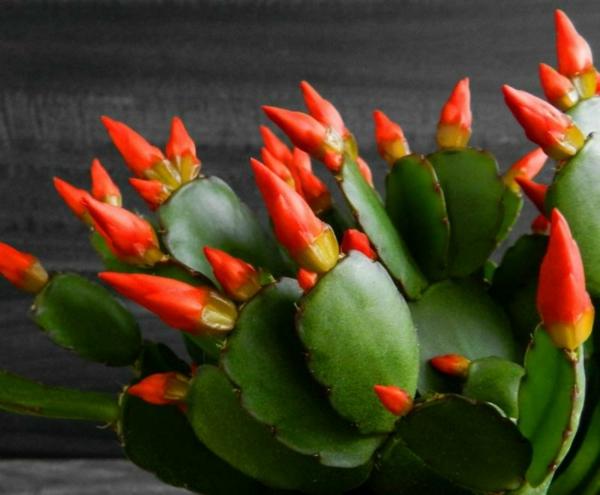 cactus de pâques cactacée épiphyte brésilienne