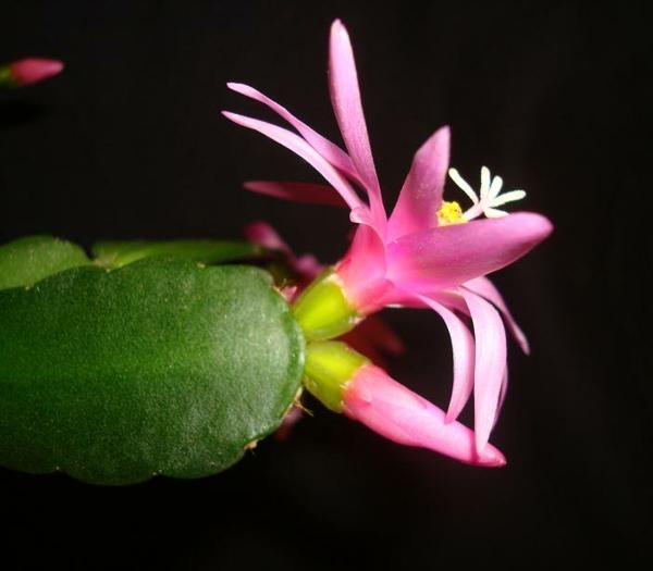 cactus de pâques culture en pot