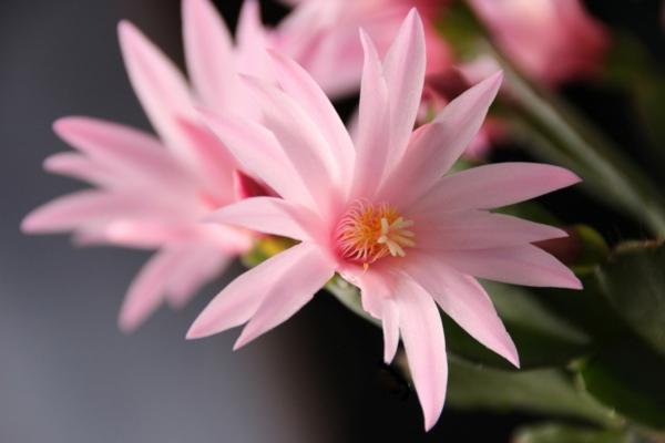 cactus de pâques fleurs roses