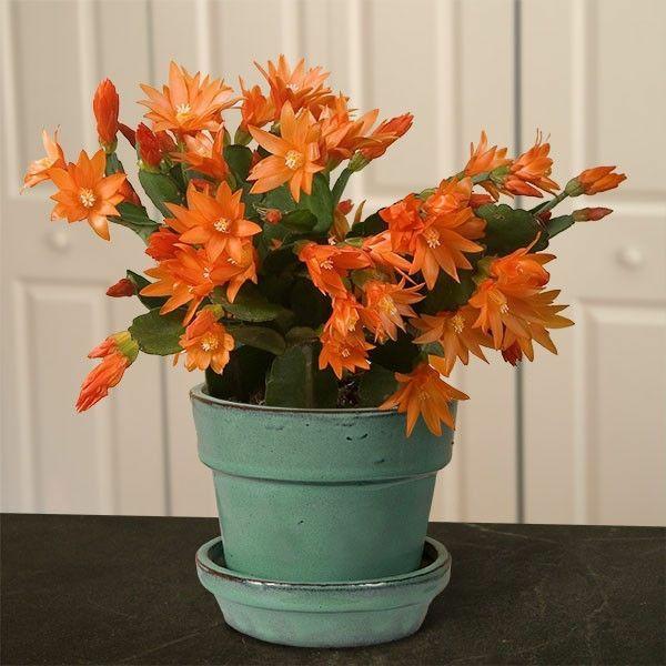 cactus de pâques hatiora columba