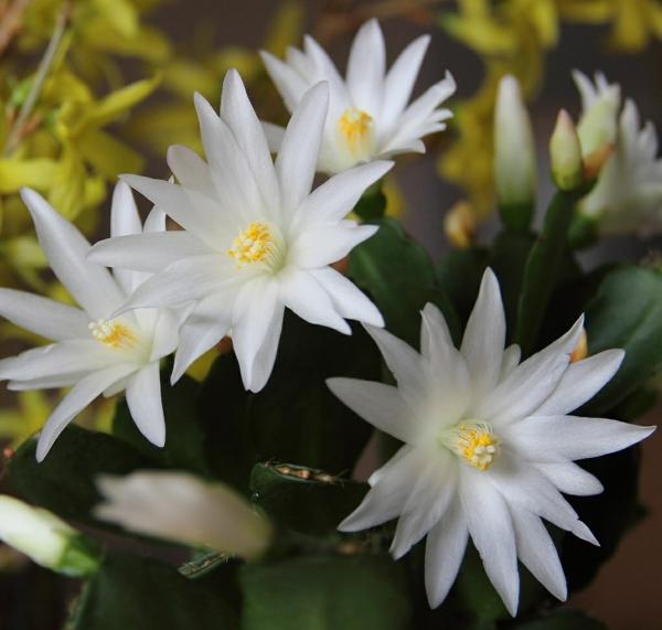 cactus de pâques hatiora sirius