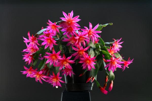 cactus de pâques hatiora victoria
