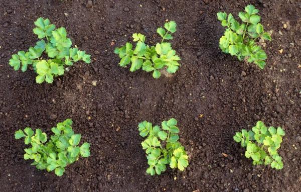 comment planter du céléri après le dernier gel