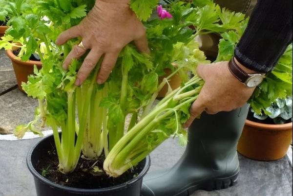 comment planter du céléri dans des pots