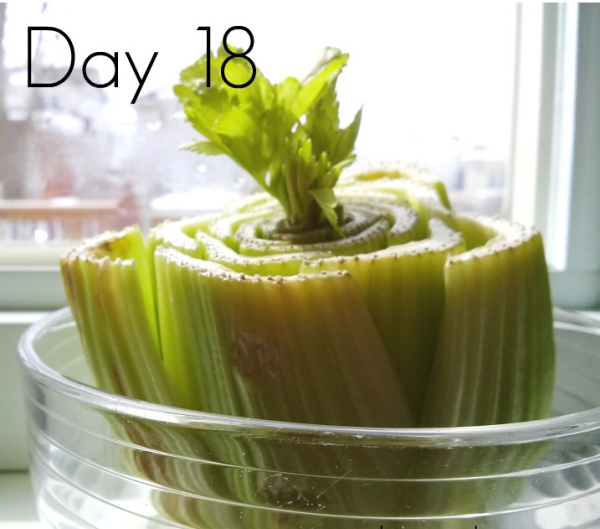 comment planter du céléri dix-huit jours