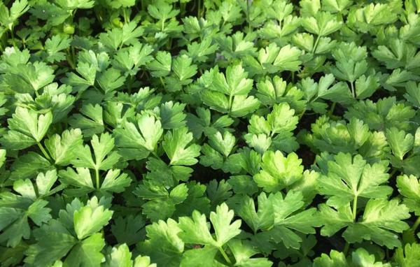 comment planter du céléri feuilles de céléri