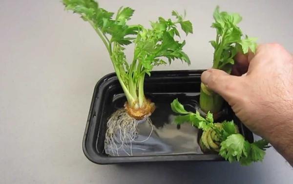 comment planter du céléri un récipient d'eau