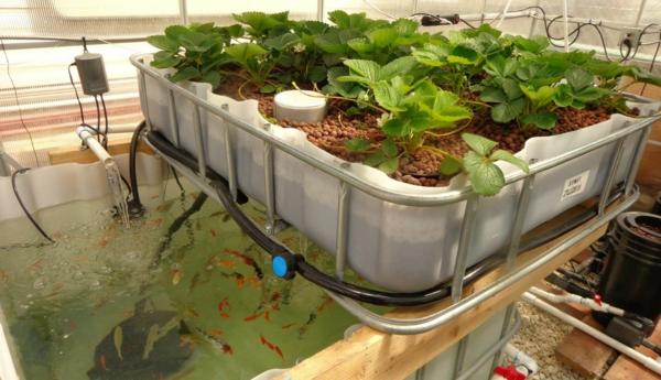 cultiver des fraises système aquaponique