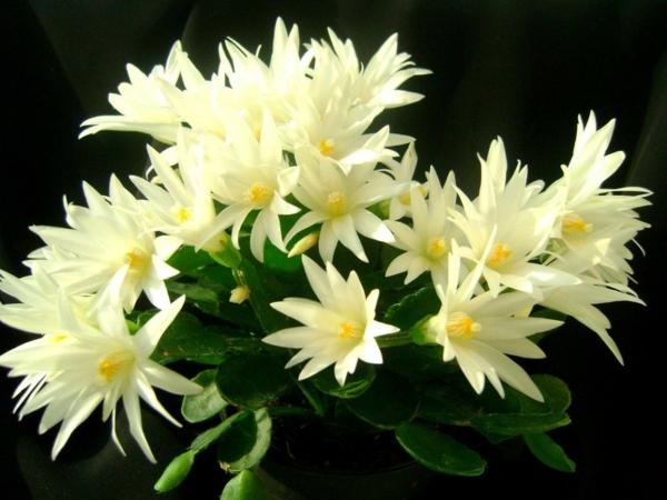 culture et entretien cactus de pâques