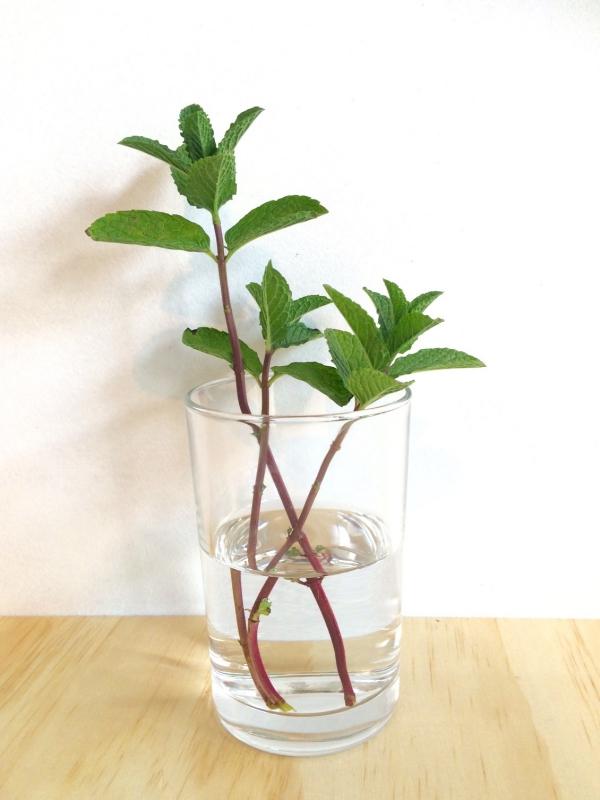 planter de la menthe dans un verre d'eau