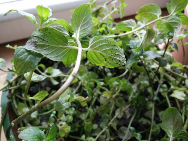 planter de la menthe des boutures