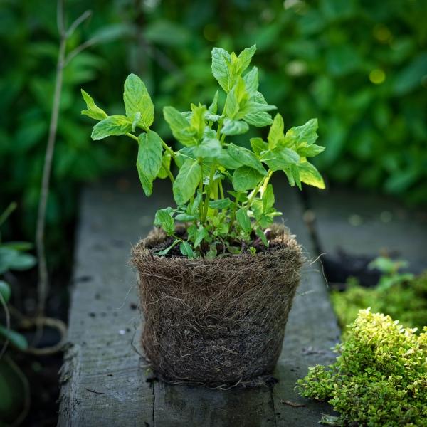 planter de la menthe pour replanter