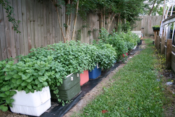 planter de la menthe une rangée de jardinières