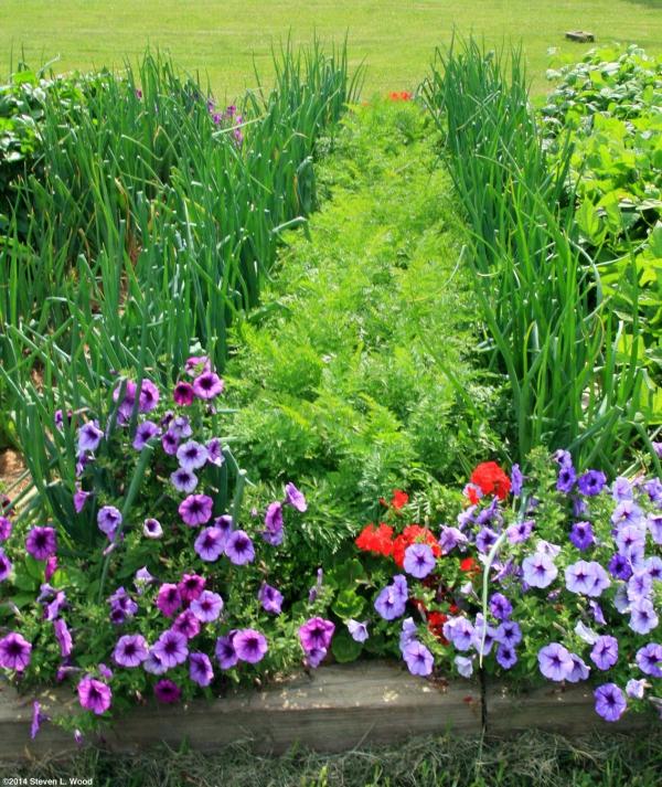 planter des carottes autres cultures