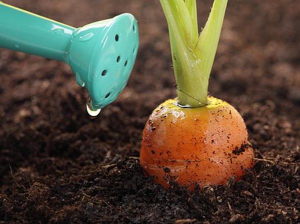 planter des carottes avec un arrosoir