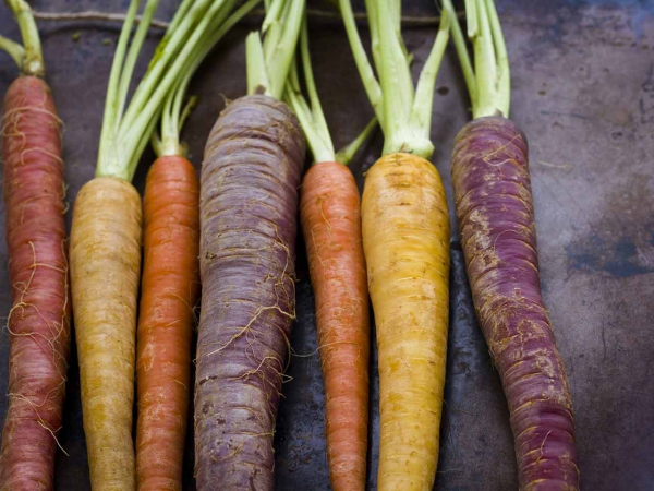 planter des carottes en couleurs différentes