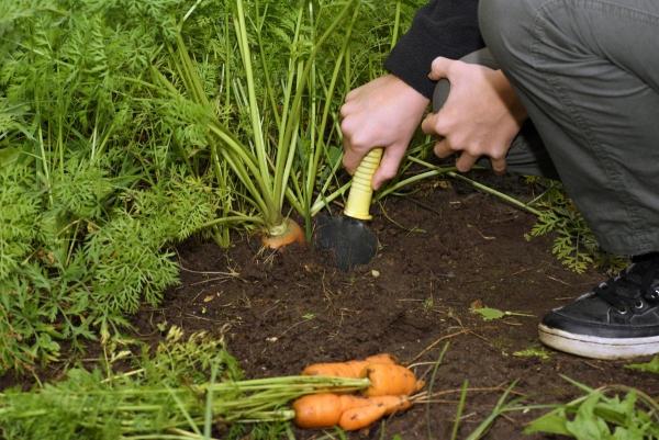 planter des carottes la récolte commence