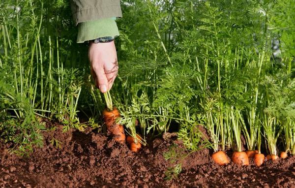 planter des carottes préparer à sortir