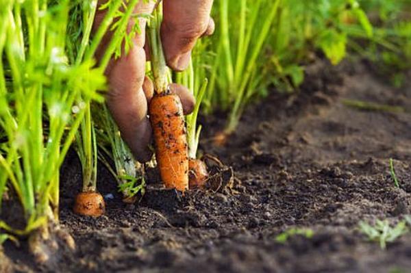 planter des carottes prêtes à récolter