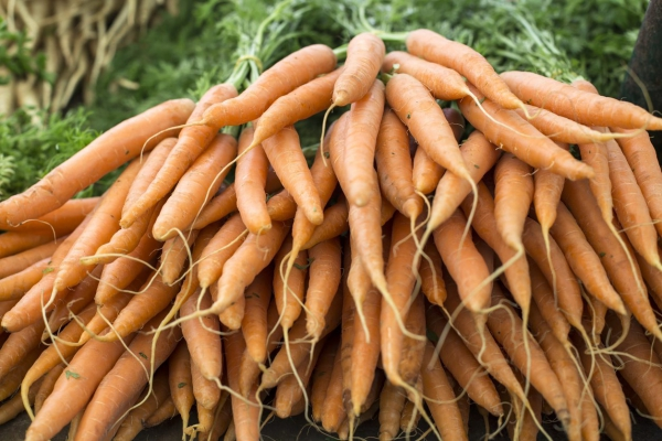planter des carottes récolte abondante