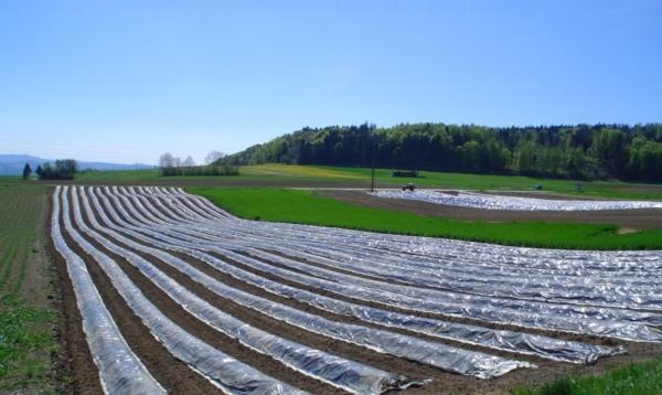 planter des carottes un champ de carottes