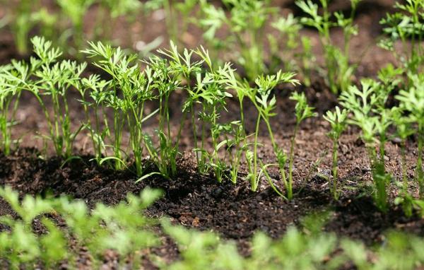 planter des carottes une bonne distance