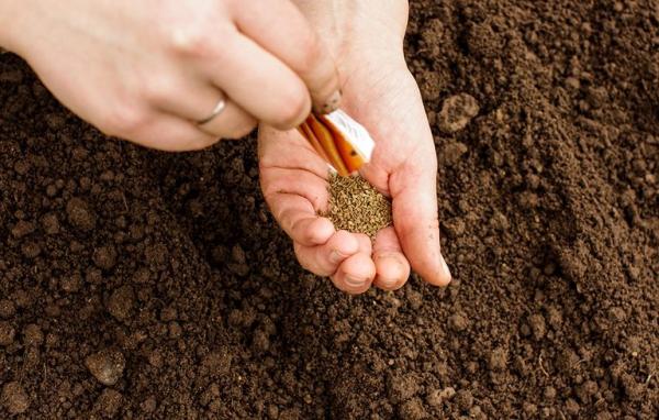 planter des carottes une poignée de graines