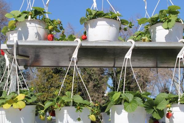 planter des fraises à quelques niveaux