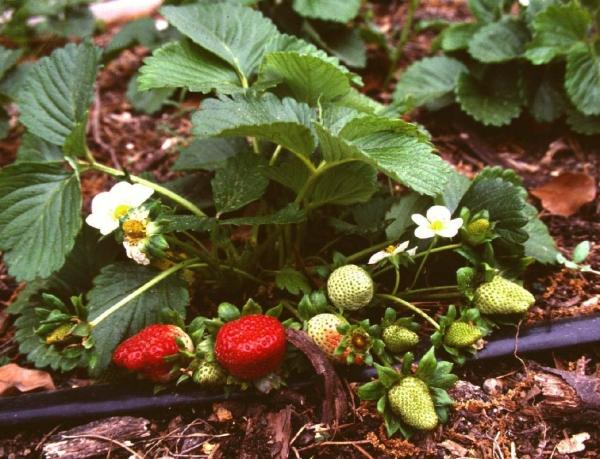 planter des fraises arrosage régulier