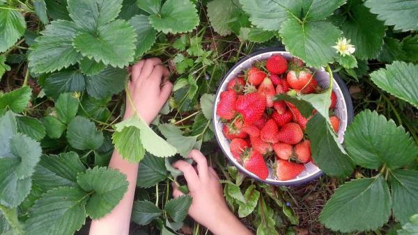 planter des fraises cueillir pendant un temps sec