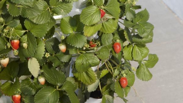 planter des fraises de forme allongée