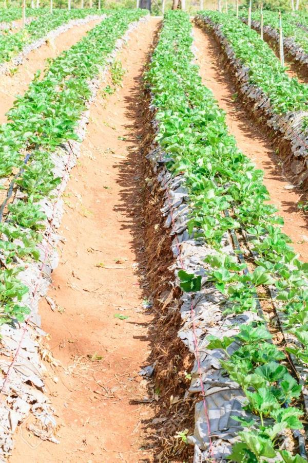 planter des fraises de la paille et du sol élevé