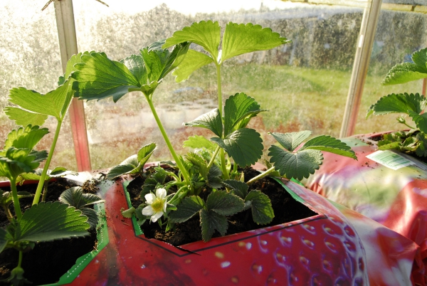 planter des fraises des récipients près de la fenêtre