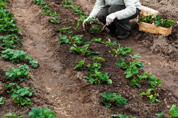 planter des fraises du sol élevé