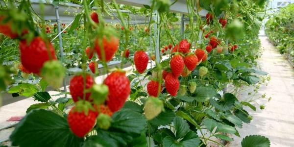 planter des fraises en étages