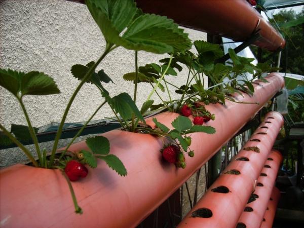 planter des fraises en tuyaux