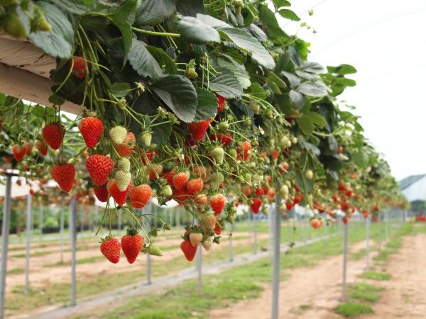 planter des fraises installations suspendues