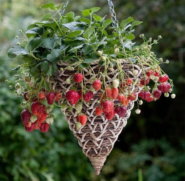 planter des fraises panier en forme de cône