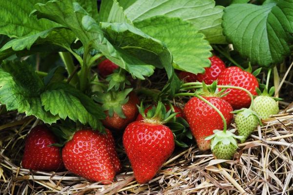 planter des fraises pour ne pas pourrir