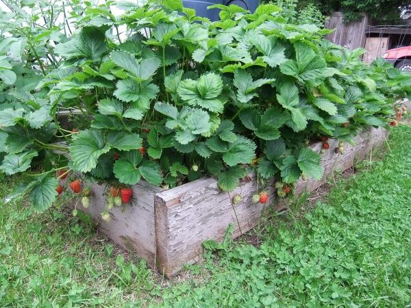 planter des fraises un carré en bois