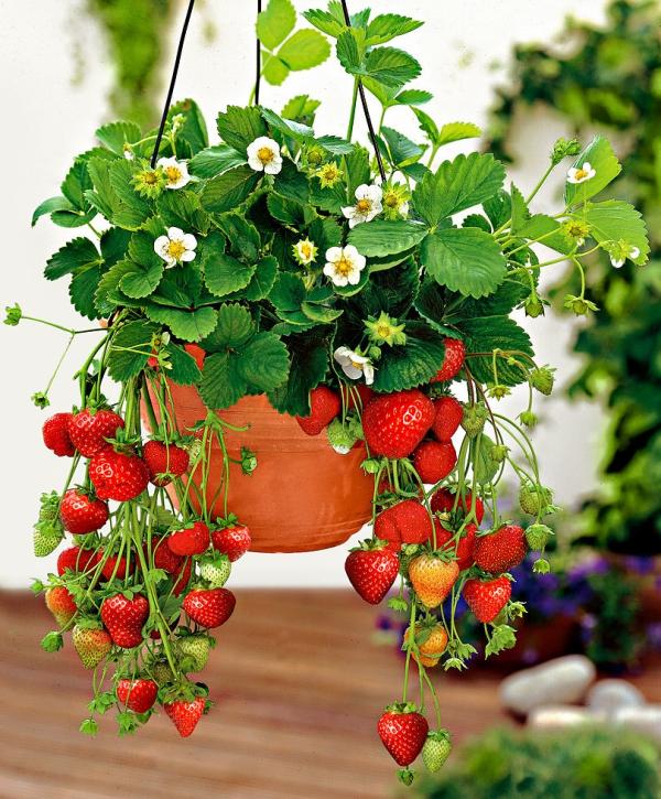planter des fraises un pot suspendu