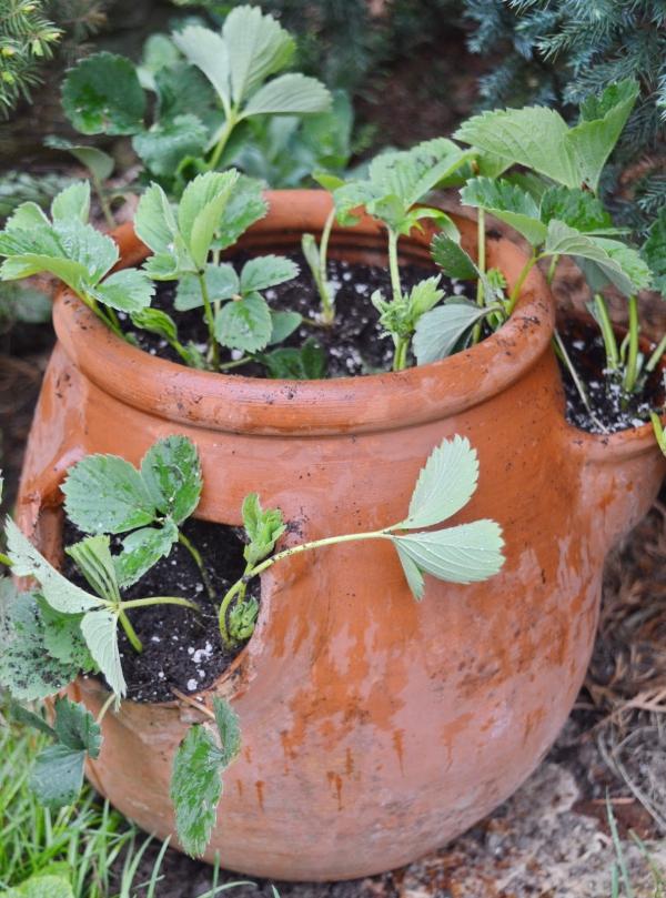 planter des fraises un récipient approprié