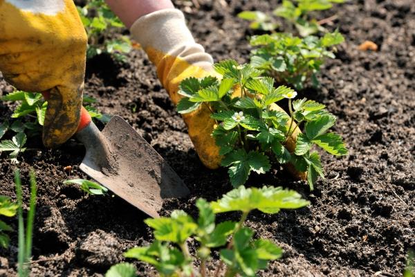 planter des fraises une bonne distance