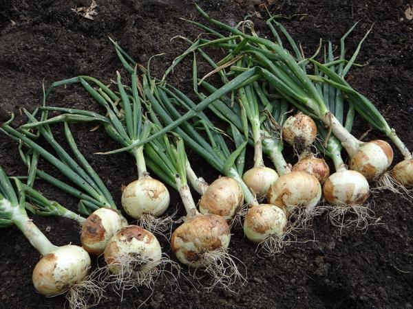 planter des oignons bonne récolte