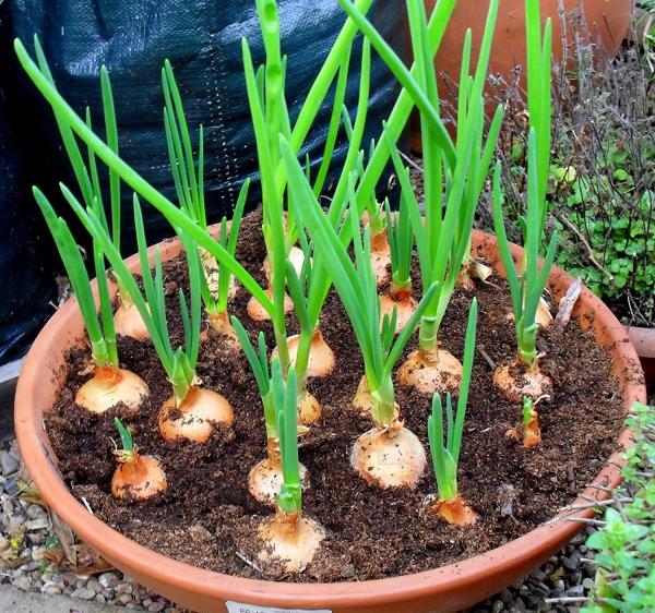 planter des oignons dans un pot