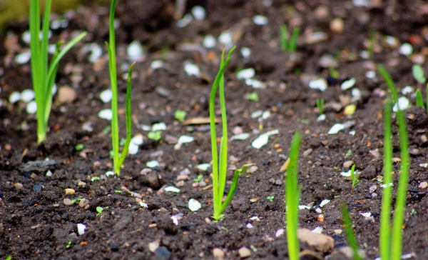 planter des oignons de bulbes