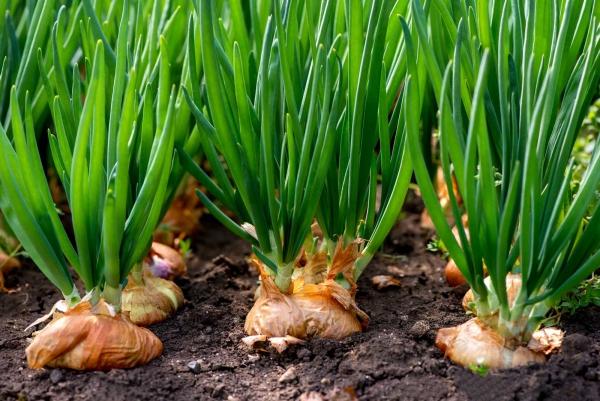 planter des oignons de grands oignons